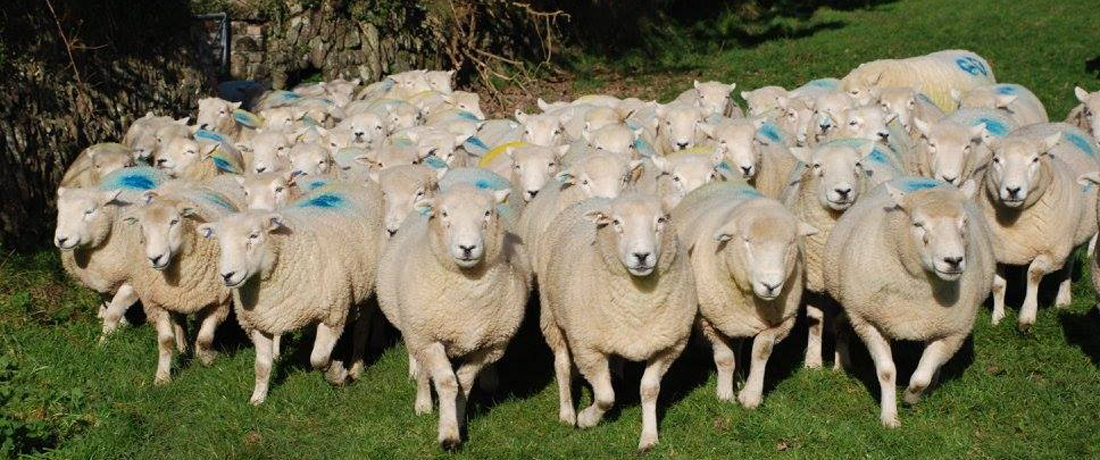 Devon Closewool Ewes