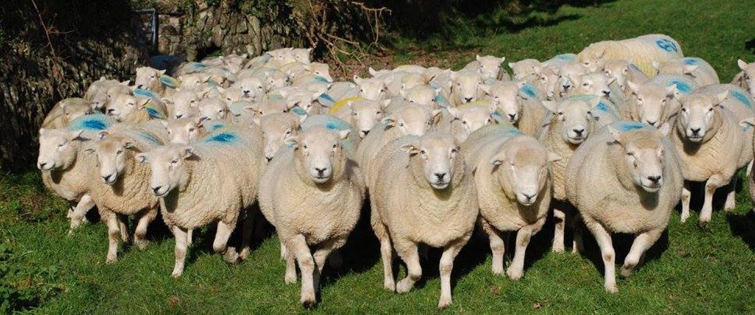 Devon Closewool Ewes