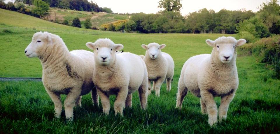Devon Closewool Lambs
